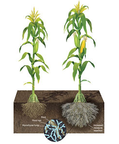 Extension-of-Corn-Root-Surface-Area-thro
