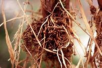 root-knot-nematodes.jpg