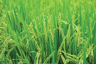 Rice-Protect-Kits.jpg