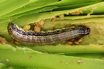army-worms.jpg