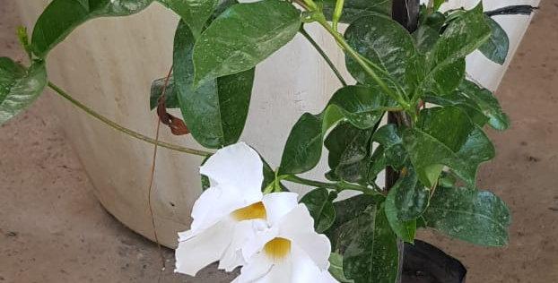 Mandevilia blanca