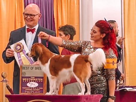 2020 Westminster Kooikerhondje Best of Breed Winner