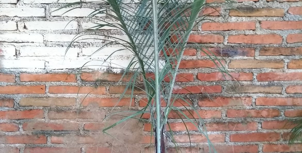 Palma triangular