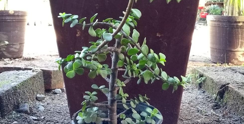 Árbol Jade