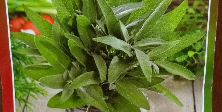 Semillas de Salvia