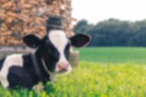 cow-2559383_1920 (2).jpg