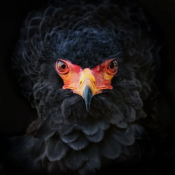 Gaukler Greifvogel (Bateleur) Terathopius Ecaudatus