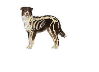 The #1 and #2 common injury factors for puppies - it's not just about hips and elbows