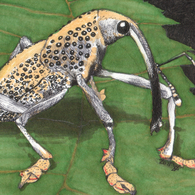 Greater of Two Weevils