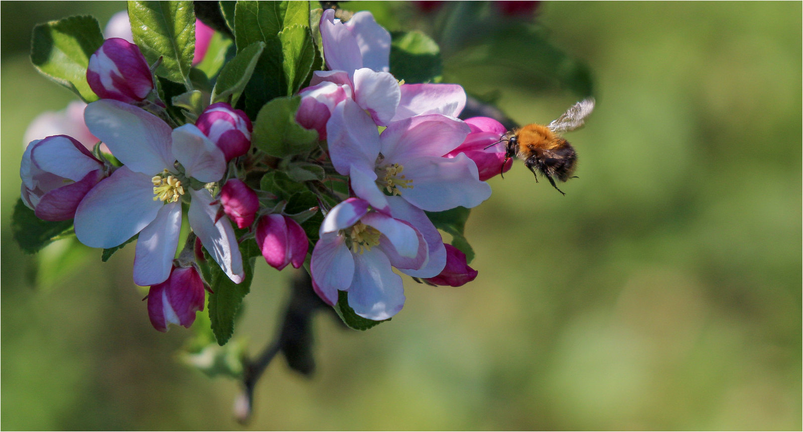 Apple Blossom with Bee in flight