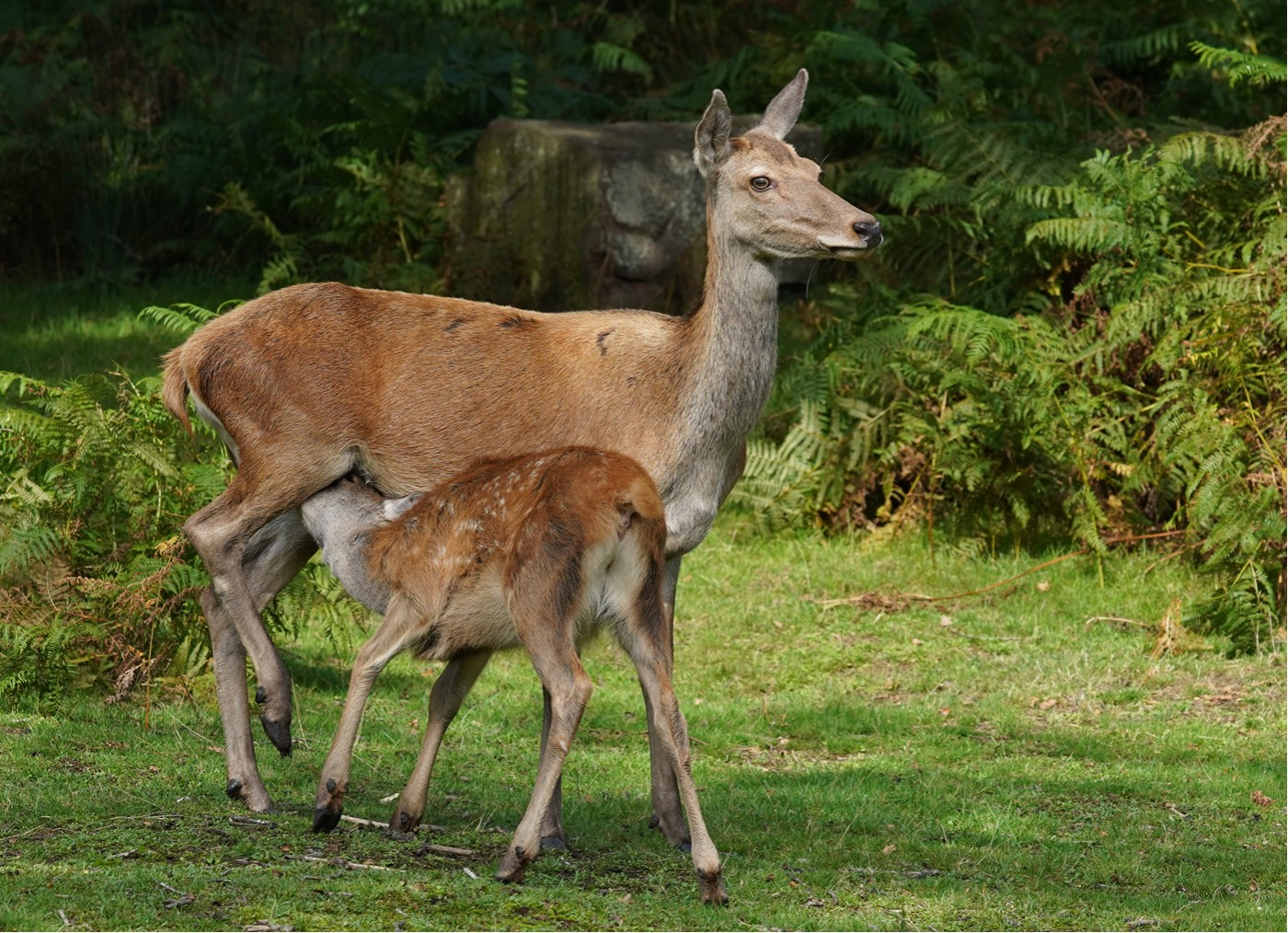 Dennis Price - Doe and Foal