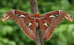Atlas Moth Crysallis
