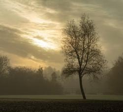 Silver Birch  at Daybreak in Freezing Fo