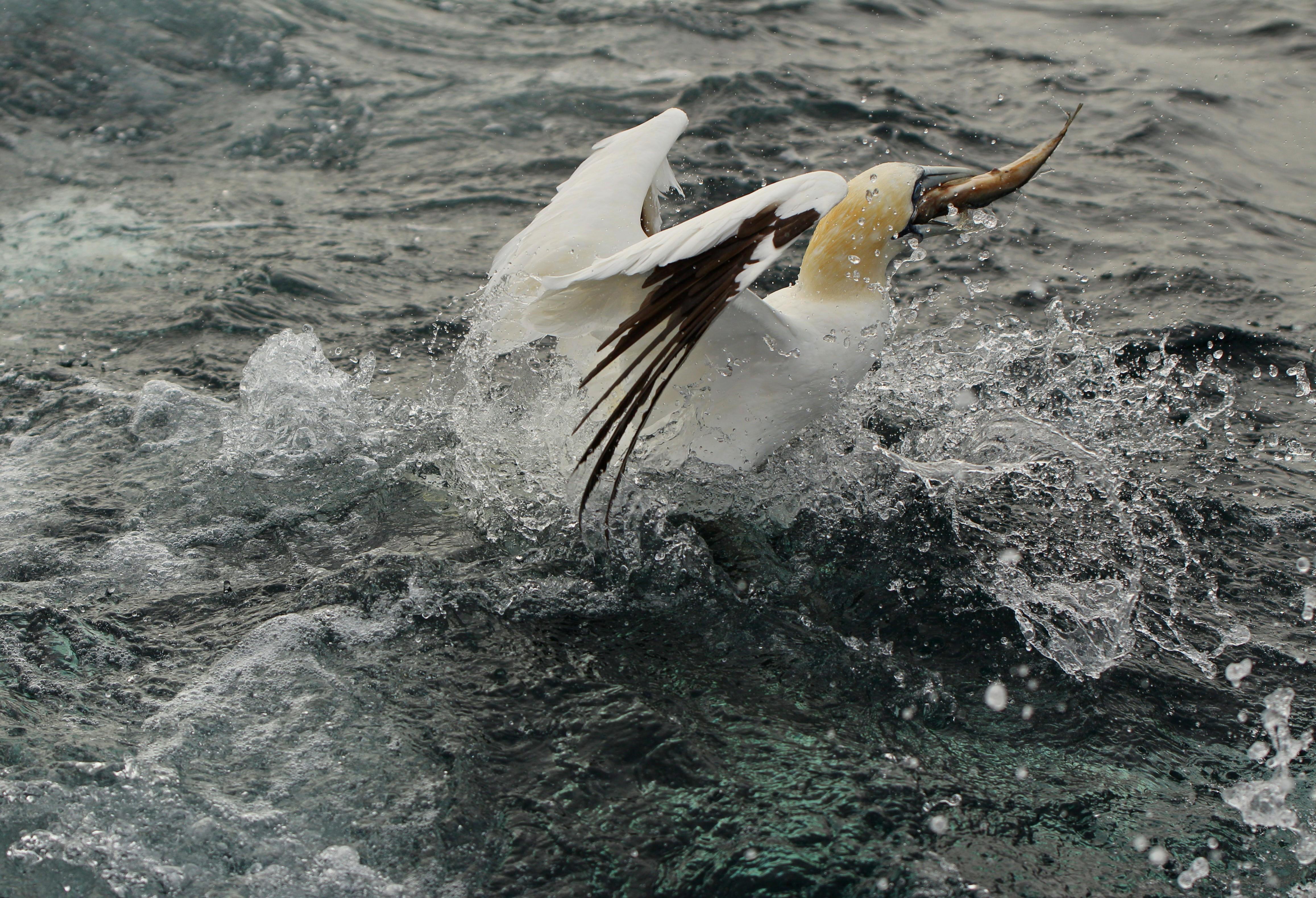 Gannet, Shetlands