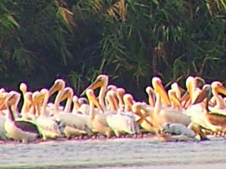 Cranes and pelicans