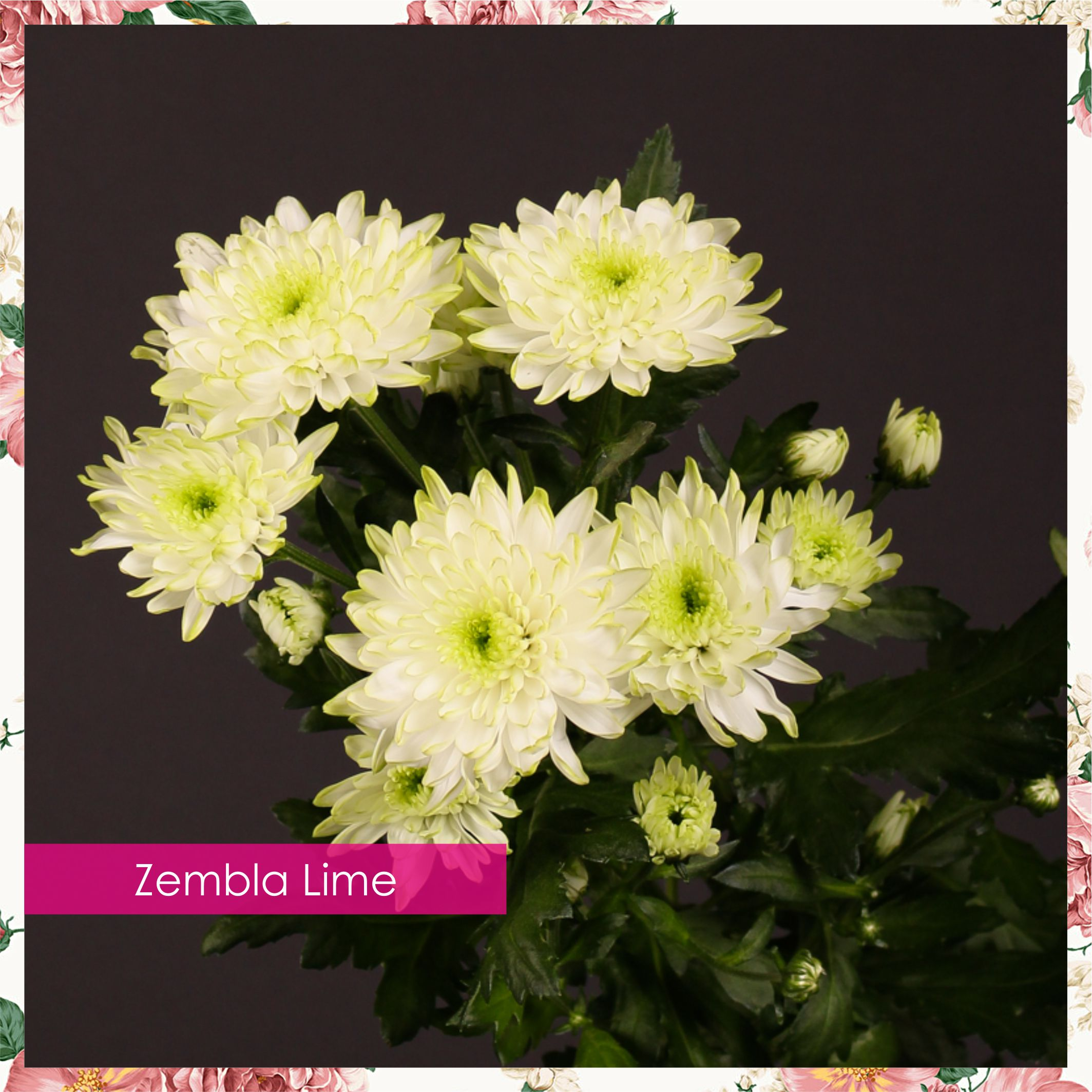 Цветы юга прайс на хризантему, цветы