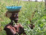 Pea harvesting CFU.jpg