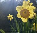 Easter daffodil Ben Freeth Mar 21.jpg