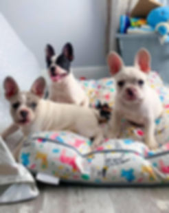 three french bulldog puppies on a dog bed