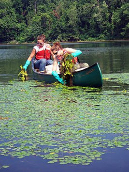 YCC_crew_removing_water_chestnut_(479116