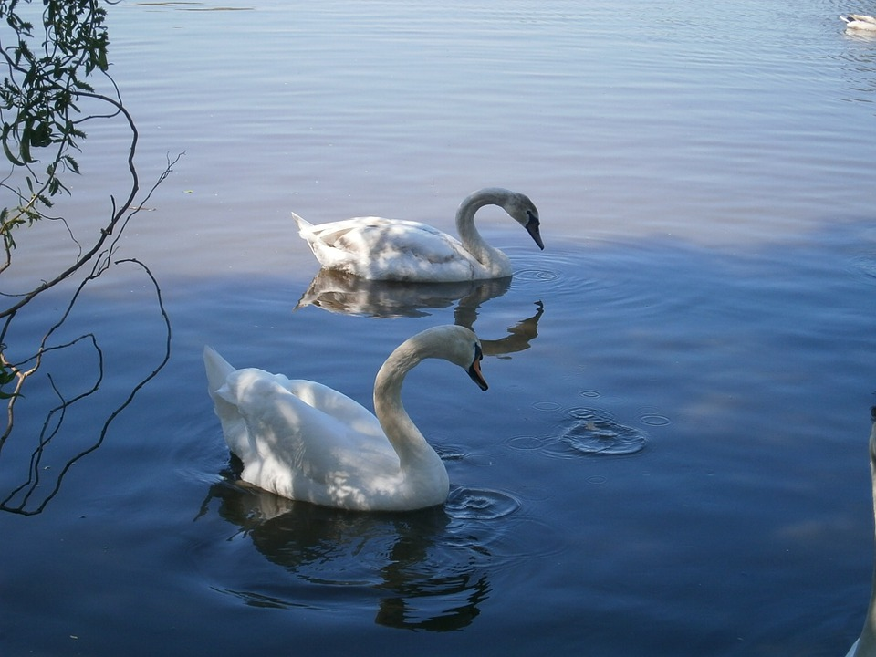 White-Swans-Couple-Pond-Water-Bird-Blue-Swan-652561