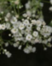 gypsophila.jpg