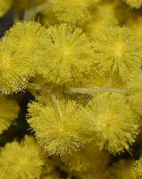 mimosa.jpeg