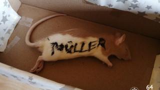 A HVIM egy döglött patkánnyal ajándékozta meg Niedermüllert a hivatalában
