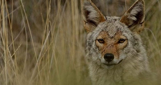 coyote-in-wild-in-long-grass-credit-Tani