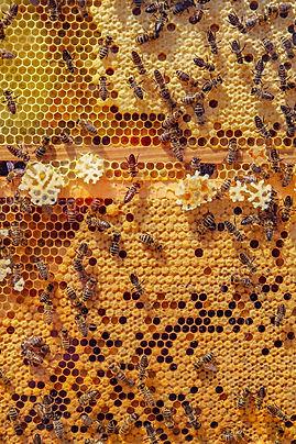 bees-4126065_1920(1).jpg