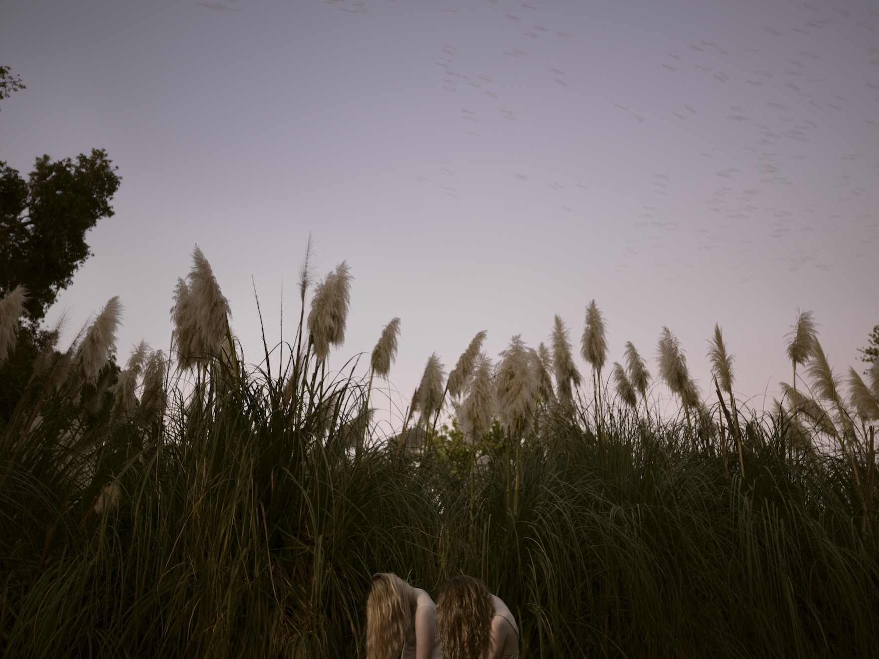 Pampas grass (Cortaderia  selloana) in A