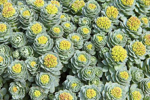 Rhodiolaplanta_142136615.jpg