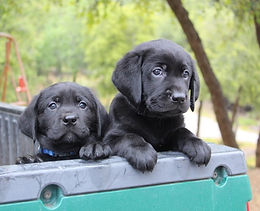black pups in ranger2.jpg