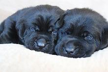 Skye's black boy pups.JPG