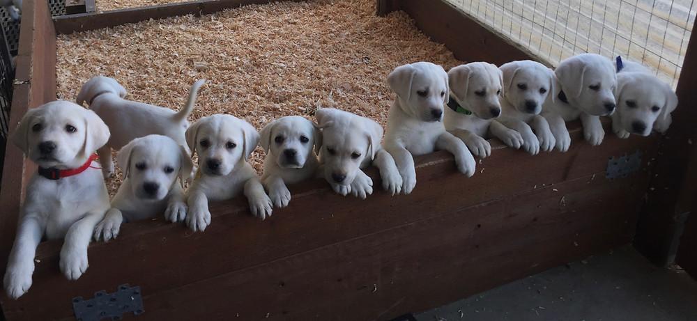Summer's 13 puppies born 10-6-2017