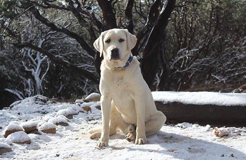 White Labrador Retriever Male, New Day Labradors
