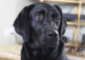 Black Lab-Female New Day Labradors