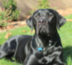Black Labrador Retriever, silky coat, shiny coat