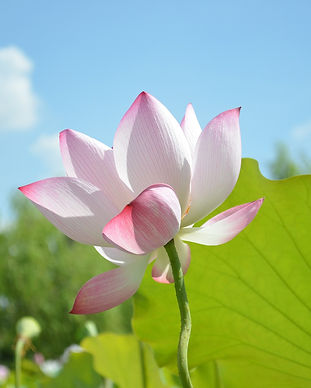 lotus-746700_1920.jpg