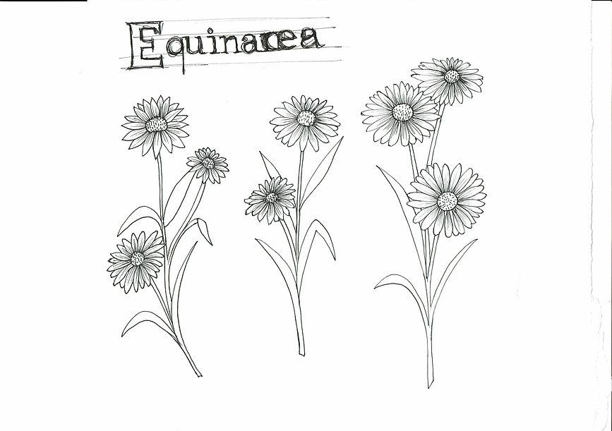 Equinácea.jpg