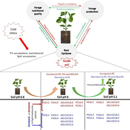 Adaptation strategies of forage soybeans cultivated on acidic soils under cool climate