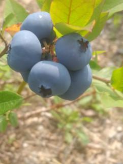 MUN-Wild Berries