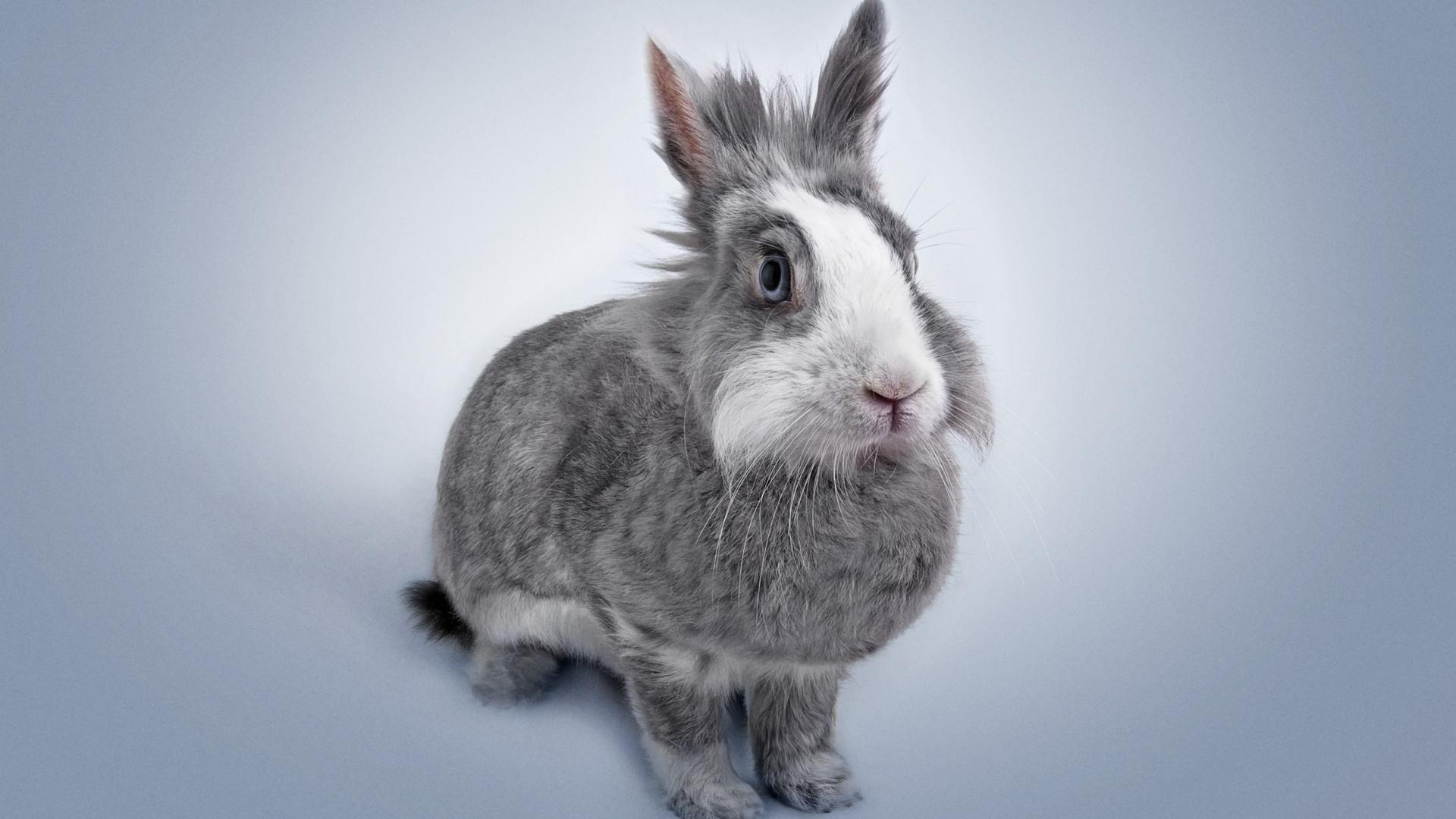 NAC - phodo de lapin