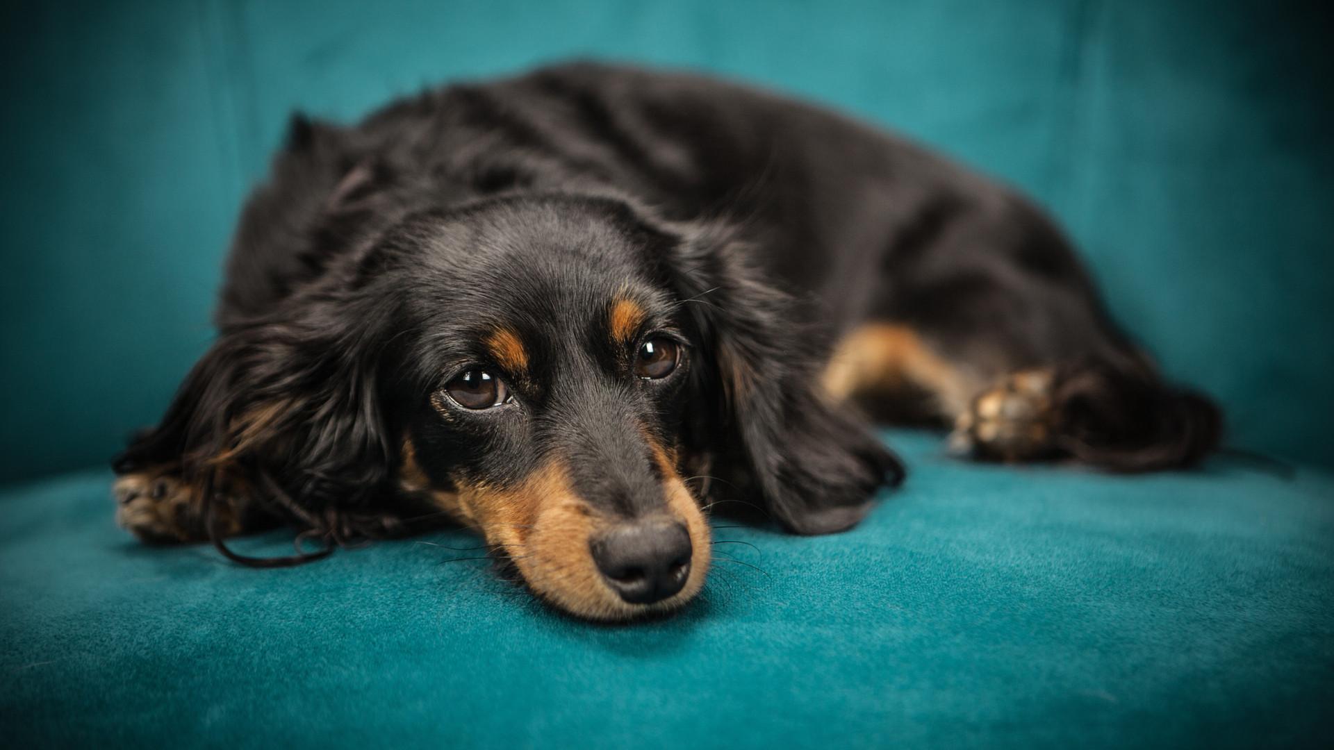black-and-tan-long-coat-dog-169524.jpg