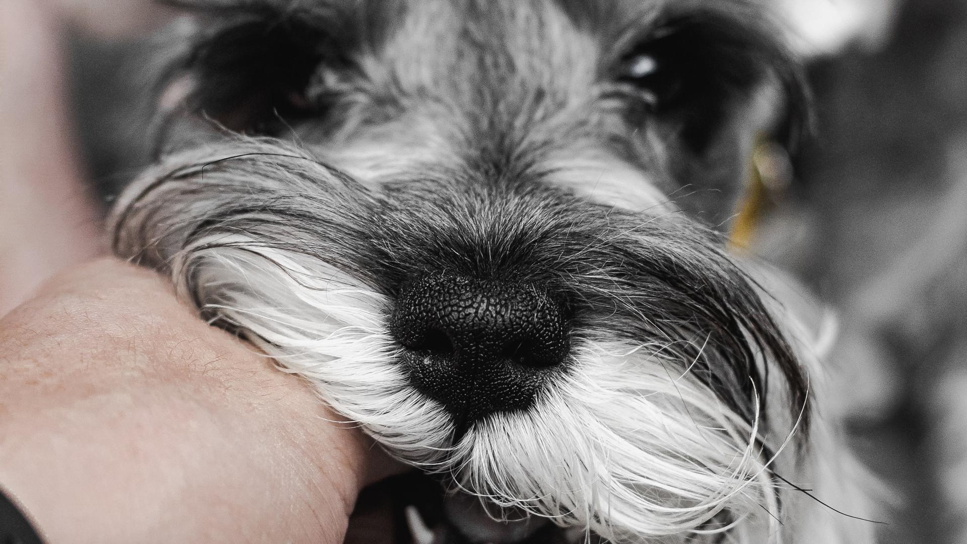 Chien gris chez Cabinet Vétérinaire Endoume