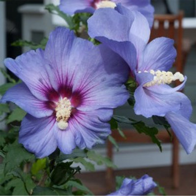 Azurri Blue Satin® Rose of Sharon / Hibiscus syriacus