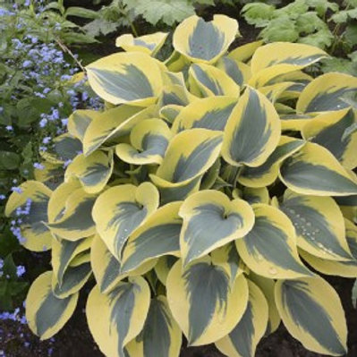 Autumn Frost Plantain Lily - Hosta Shadowland®