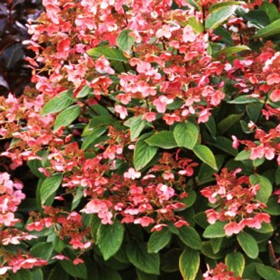 Quick Fire® Tree Hydrangea/Hydrangea paniculata