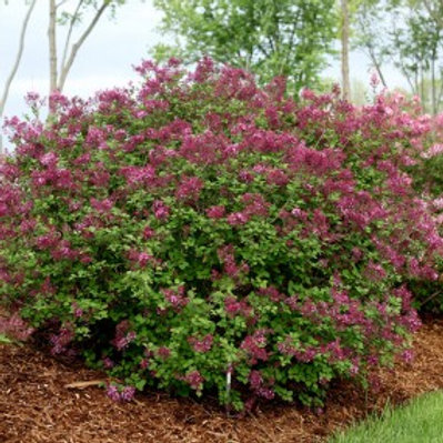 Dark Purple Dwarf Lilac/Syringa Bloomerang®
