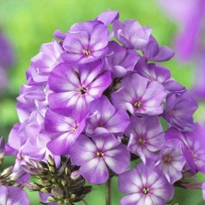 Violet White Summer Phlox - Phlox paniculata Sweet Summer Surprise™